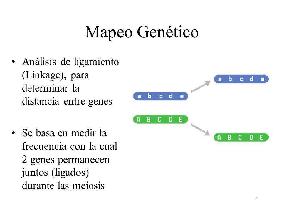 4 Mapeo Genético Análisis de ligamiento (Linkage), para determinar la distancia entre genes Se basa en medir la frecuencia con la cual 2 genes permane