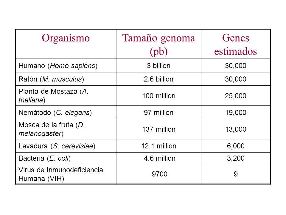 OrganismoTamaño genoma (pb) Genes estimados Humano (Homo sapiens)3 billion30,000 Ratón (M. musculus)2.6 billion30,000 Planta de Mostaza (A. thaliana)