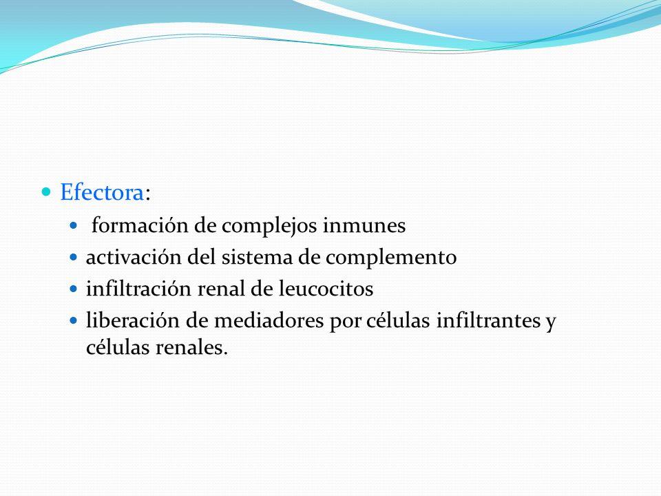 Efectora: formación de complejos inmunes activación del sistema de complemento infiltración renal de leucocitos liberación de mediadores por células i