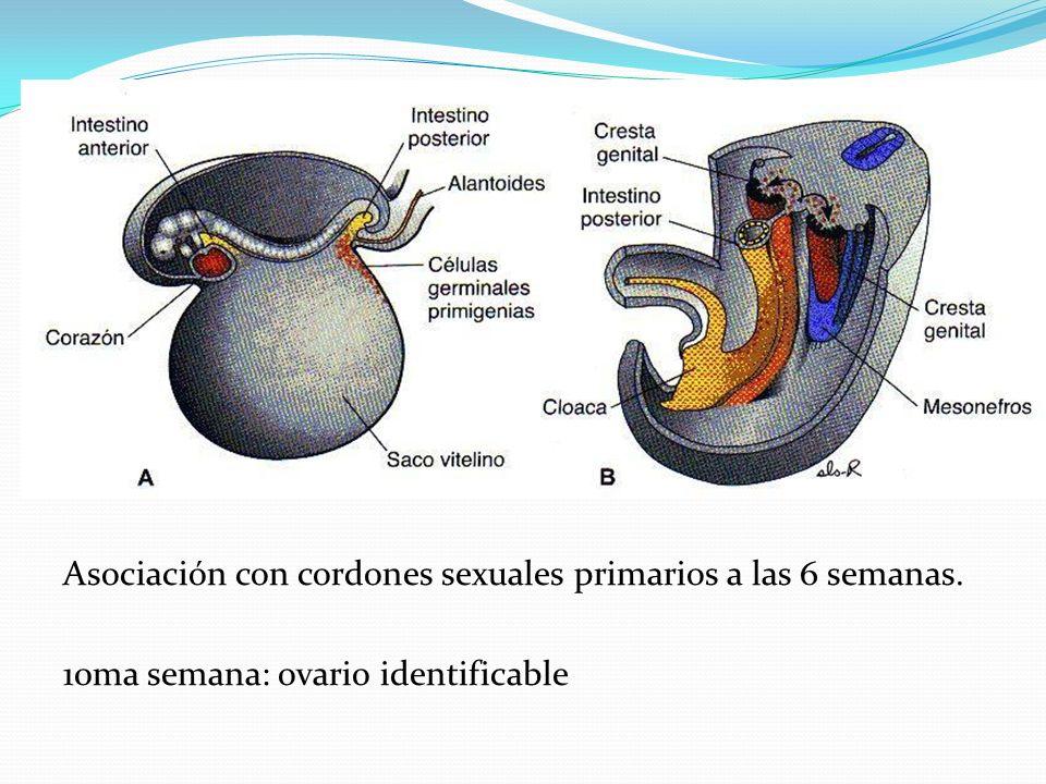 Asociación con cordones sexuales primarios a las 6 semanas. 10ma semana: ovario identificable