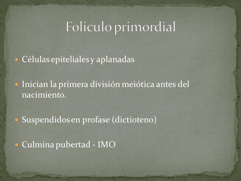 Células epiteliales y aplanadas Inician la primera división meiótica antes del nacimiento. Suspendidos en profase (dictioteno) Culmina pubertad - IMO