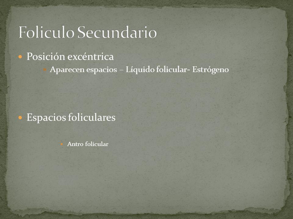 Posición excéntrica Aparecen espacios – Líquido folicular- Estrógeno Espacios foliculares Antro folicular