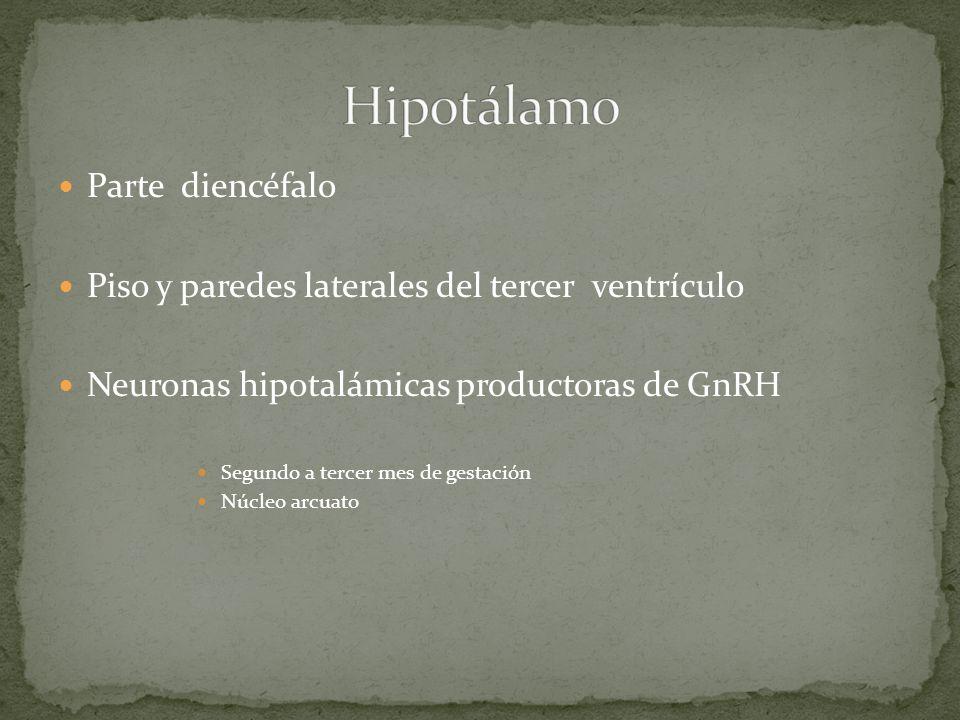 Parte diencéfalo Piso y paredes laterales del tercer ventrículo Neuronas hipotalámicas productoras de GnRH Segundo a tercer mes de gestación Núcleo ar