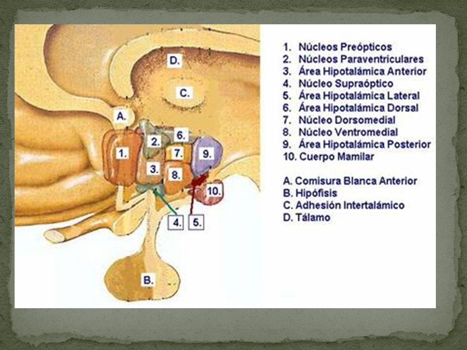 Las células neurosecretoras del hipotálamo sintetizan la hormona GnRH Se transporta por el sistema porta hipofisiario al lóbulo anterior de la hipófisis.