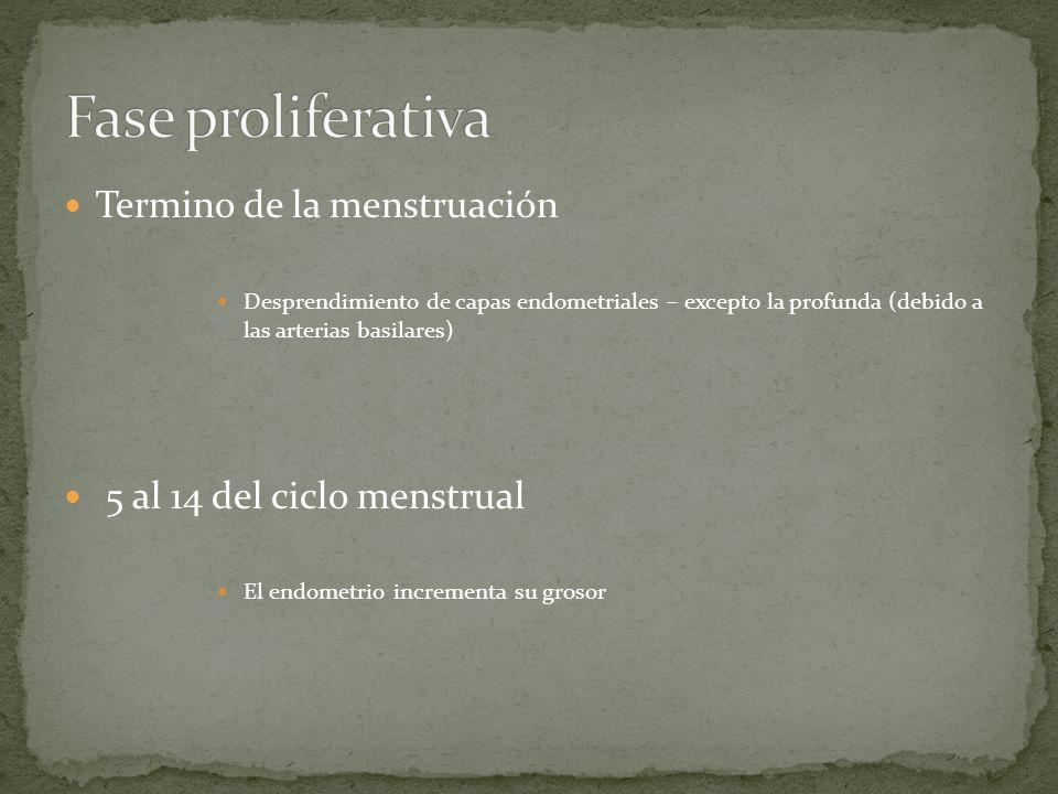 Termino de la menstruación Desprendimiento de capas endometriales – excepto la profunda (debido a las arterias basilares) 5 al 14 del ciclo menstrual