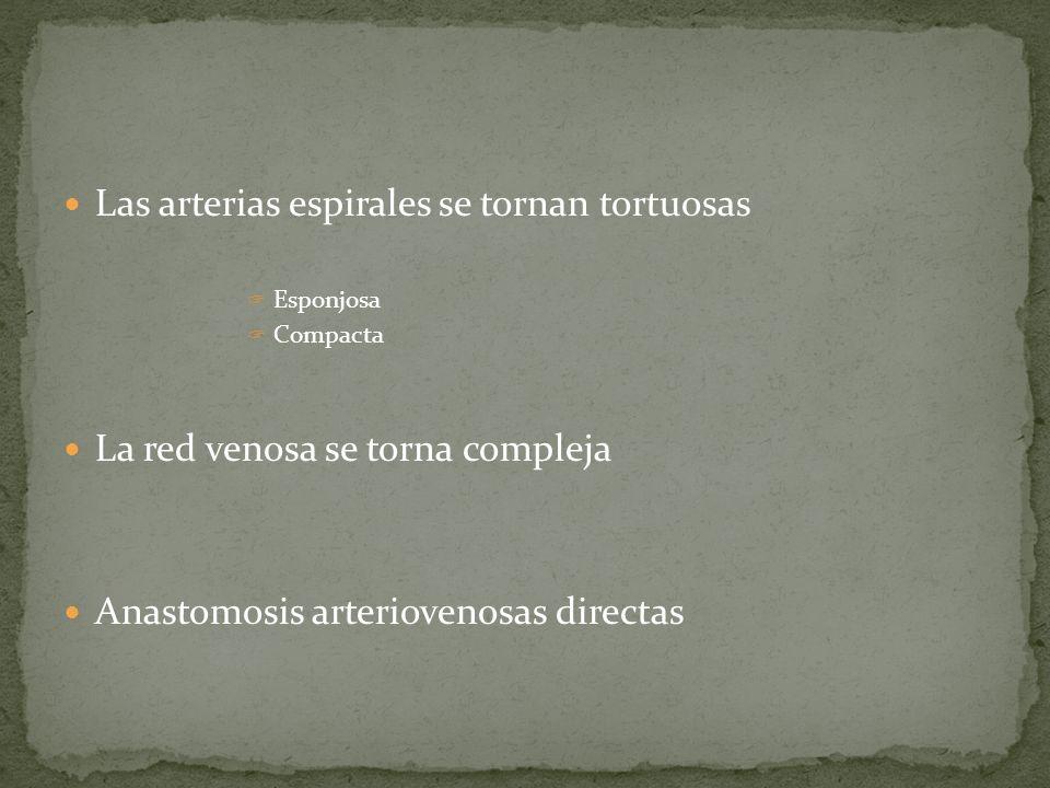 Las arterias espirales se tornan tortuosas Esponjosa Compacta La red venosa se torna compleja Anastomosis arteriovenosas directas