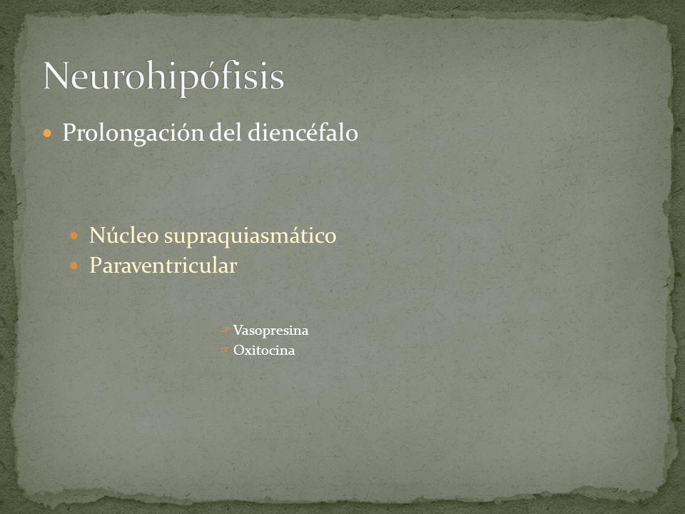 Prolongación del diencéfalo Núcleo supraquiasmático Paraventricular Vasopresina Oxitocina