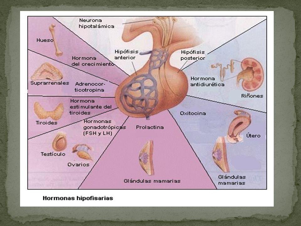 Se alargan las arterias espirales Crecimiento en número y longitud glandular Controlada por el estrógeno