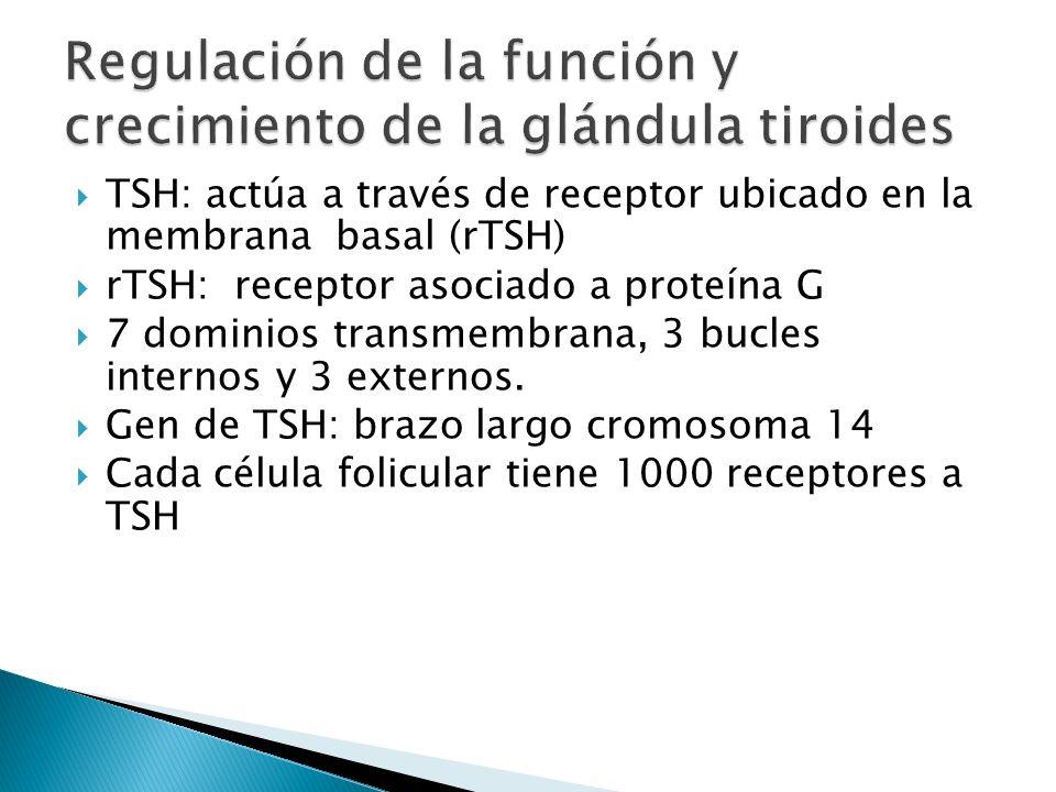 TSH: actúa a través de receptor ubicado en la membrana basal (rTSH) rTSH: receptor asociado a proteína G 7 dominios transmembrana, 3 bucles internos y