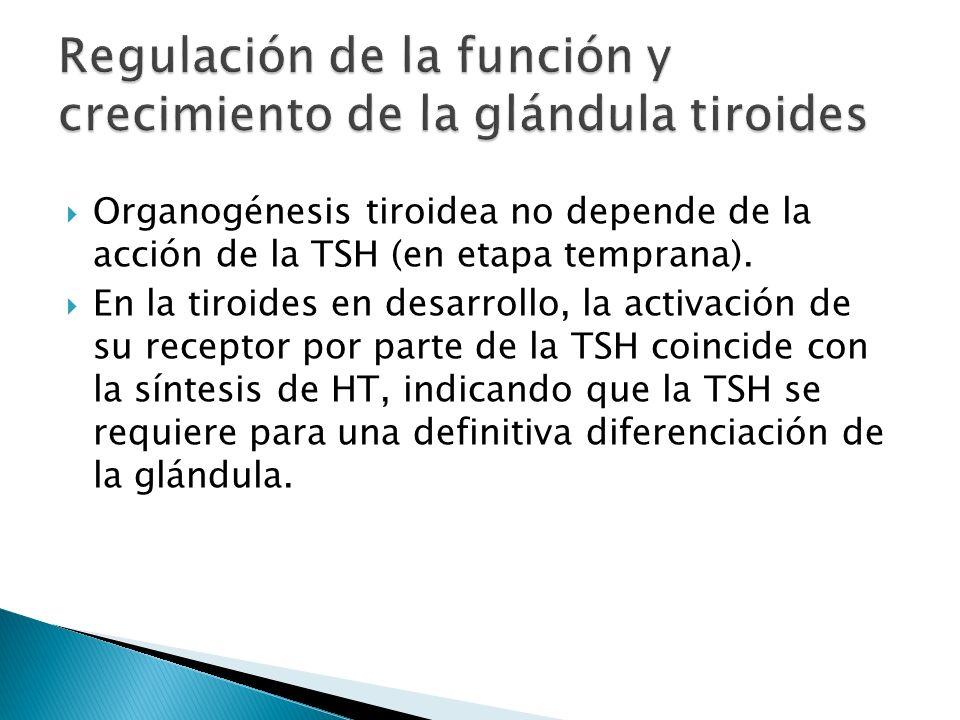 Organogénesis tiroidea no depende de la acción de la TSH (en etapa temprana). En la tiroides en desarrollo, la activación de su receptor por parte de