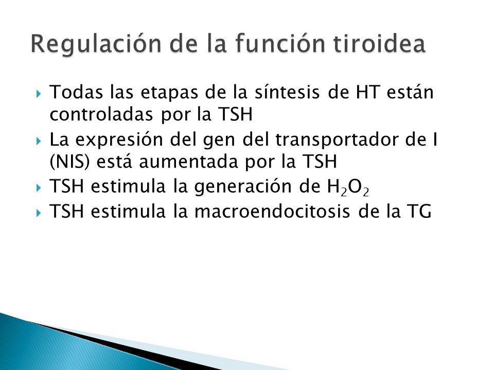 Todas las etapas de la síntesis de HT están controladas por la TSH La expresión del gen del transportador de I (NIS) está aumentada por la TSH TSH est