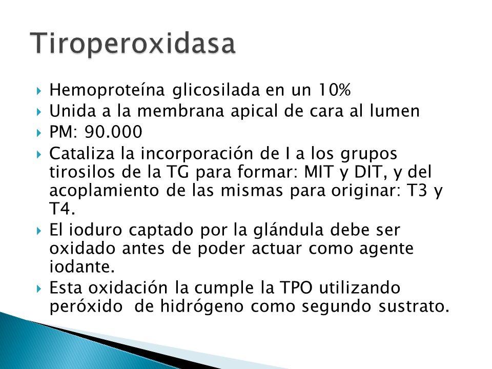Hemoproteína glicosilada en un 10% Unida a la membrana apical de cara al lumen PM: 90.000 Cataliza la incorporación de I a los grupos tirosilos de la
