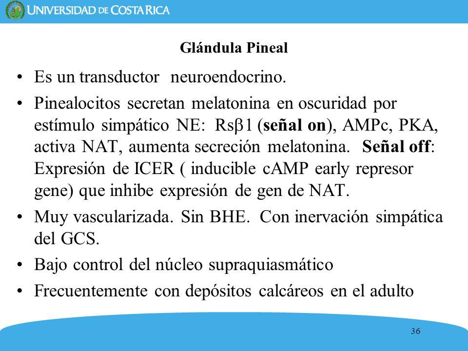 36 Glándula Pineal Es un transductor neuroendocrino. Pinealocitos secretan melatonina en oscuridad por estímulo simpático NE: Rs 1 (señal on), AMPc, P