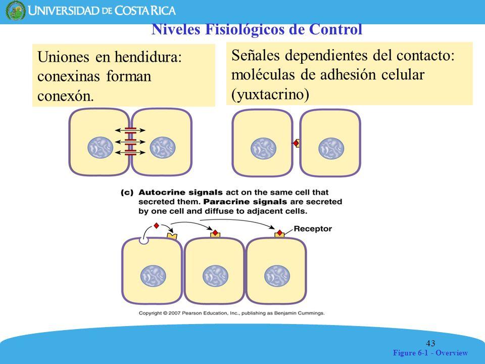 43 Figure 6-1 - Overview Niveles Fisiológicos de Control Uniones en hendidura: conexinas forman conexón. Señales dependientes del contacto: moléculas