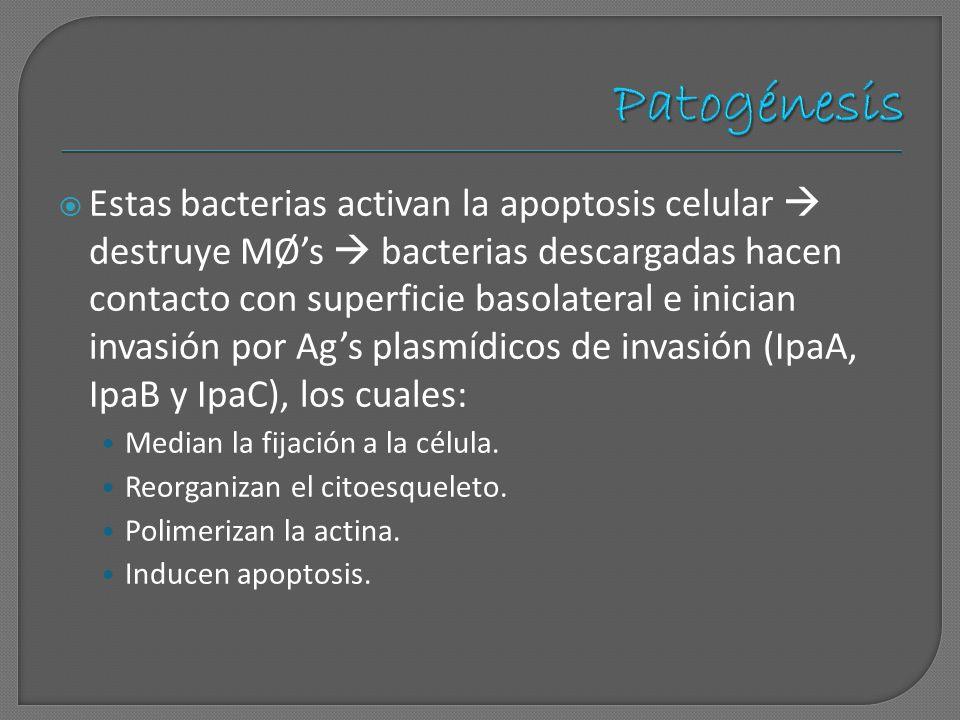 Estas bacterias activan la apoptosis celular destruye MØs bacterias descargadas hacen contacto con superficie basolateral e inician invasión por Ags p