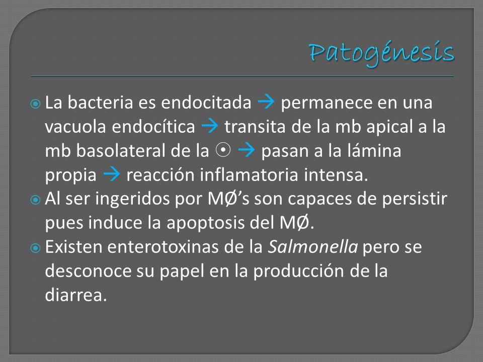 La bacteria es endocitada permanece en una vacuola endocítica transita de la mb apical a la mb basolateral de la pasan a la lámina propia reacción inf