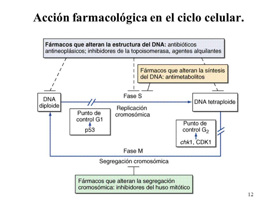 Acción farmacológica en el ciclo celular. 12