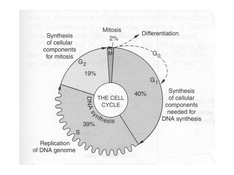 57 Anticuerpos contra el antígeno CD20 El antígeno CD20 –En la superficie de los linfocitos B normales –Más del 90% de linfomas no Hodgkin de células B.