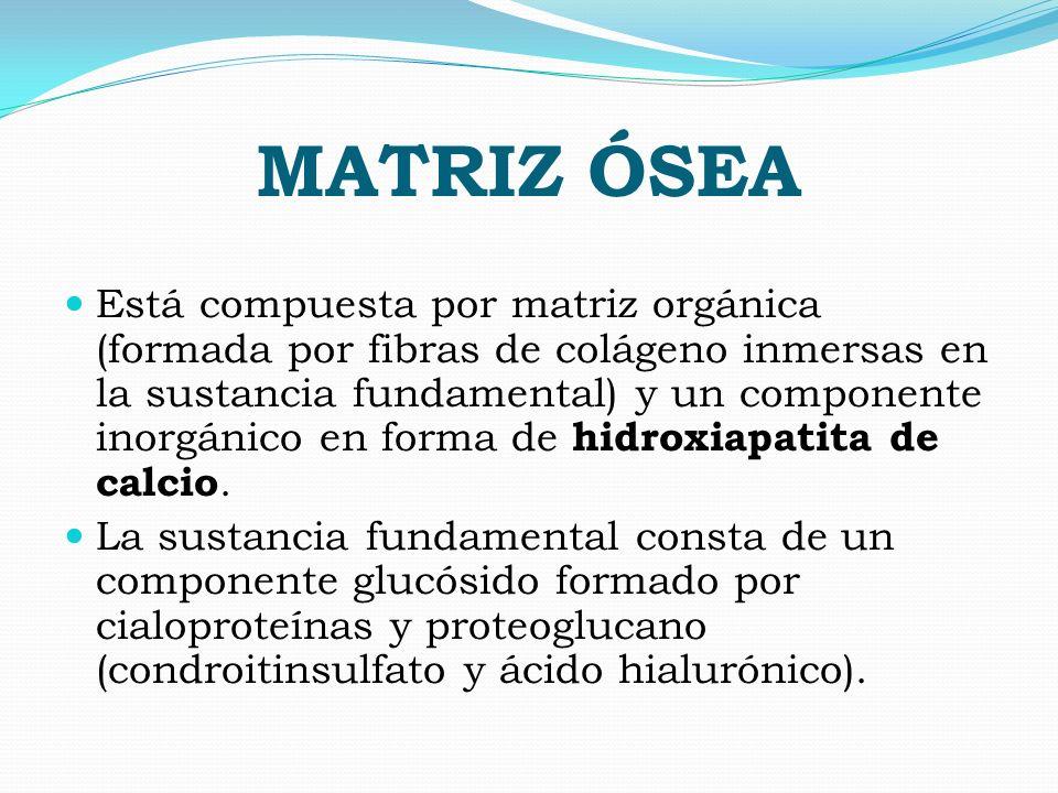 MATRIZ ÓSEA Está compuesta por matriz orgánica (formada por fibras de colágeno inmersas en la sustancia fundamental) y un componente inorgánico en for