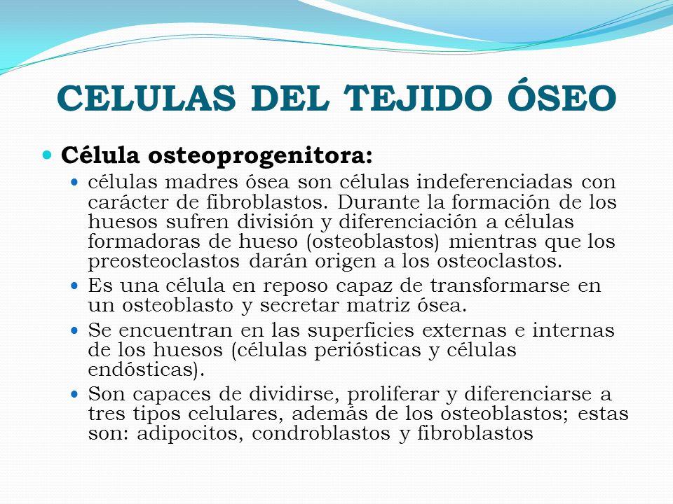 CELULAS DEL TEJIDO ÓSEO Célula osteoprogenitora: células madres ósea son células indeferenciadas con carácter de fibroblastos. Durante la formación de