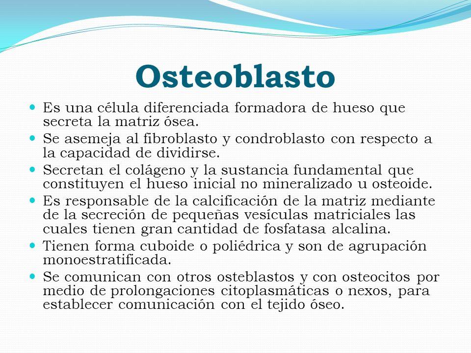 Osteoblasto Es una célula diferenciada formadora de hueso que secreta la matriz ósea. Se asemeja al fibroblasto y condroblasto con respecto a la capac