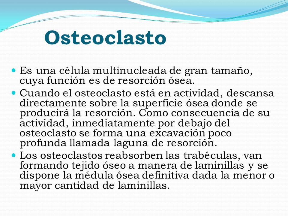 Osteoclasto Es una célula multinucleada de gran tamaño, cuya función es de resorción ósea. Cuando el osteoclasto está en actividad, descansa directame