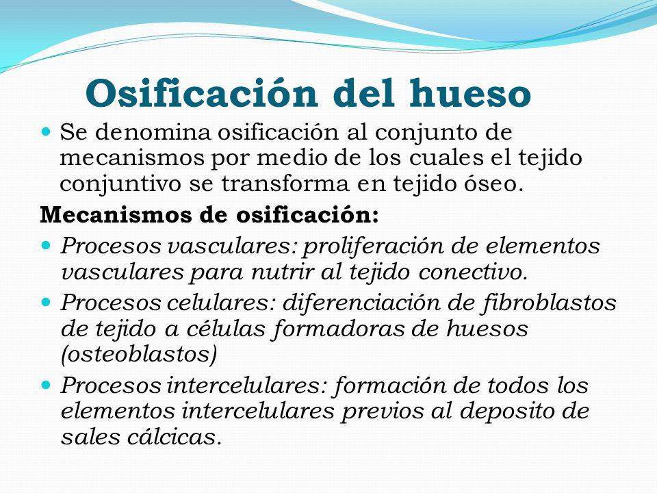 Osificación del hueso Se denomina osificación al conjunto de mecanismos por medio de los cuales el tejido conjuntivo se transforma en tejido óseo. Mec