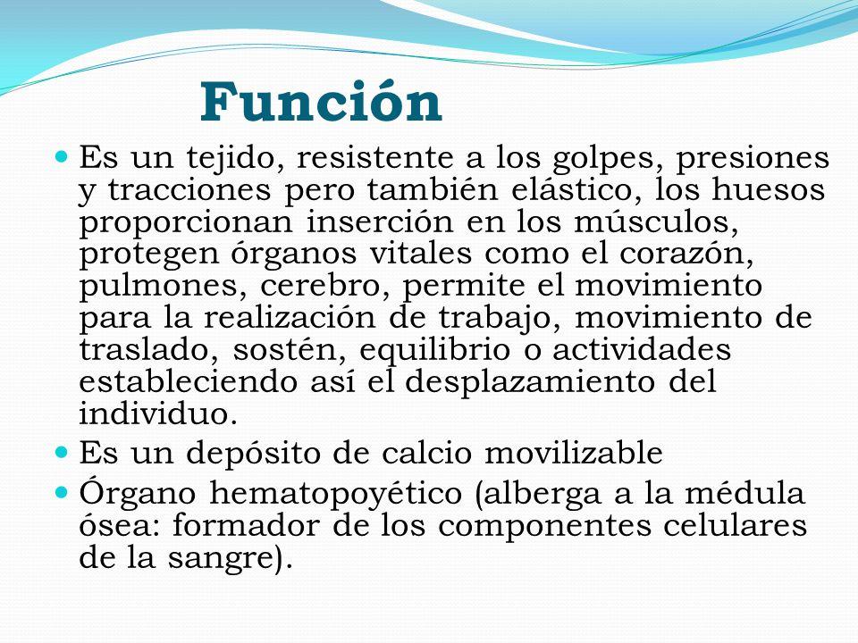 Función Es un tejido, resistente a los golpes, presiones y tracciones pero también elástico, los huesos proporcionan inserción en los músculos, proteg