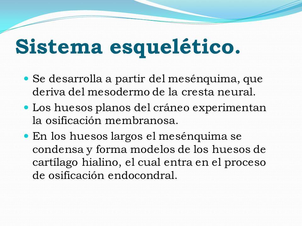 Sistema esquelético. Se desarrolla a partir del mesénquima, que deriva del mesodermo de la cresta neural. Los huesos planos del cráneo experimentan la