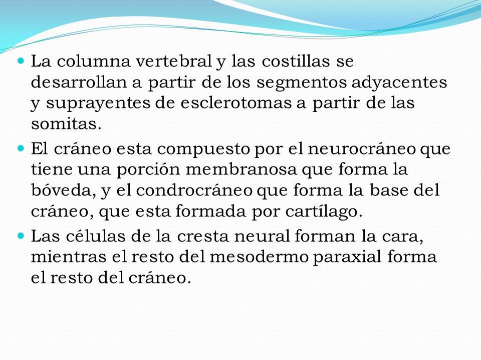 La columna vertebral y las costillas se desarrollan a partir de los segmentos adyacentes y suprayentes de esclerotomas a partir de las somitas. El crá