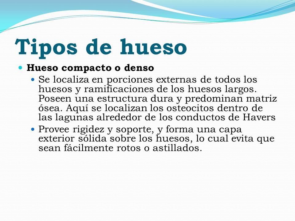 CLASIFICACION SEGÚN LA FORMA DE LOS HUESOS Hueso largo.