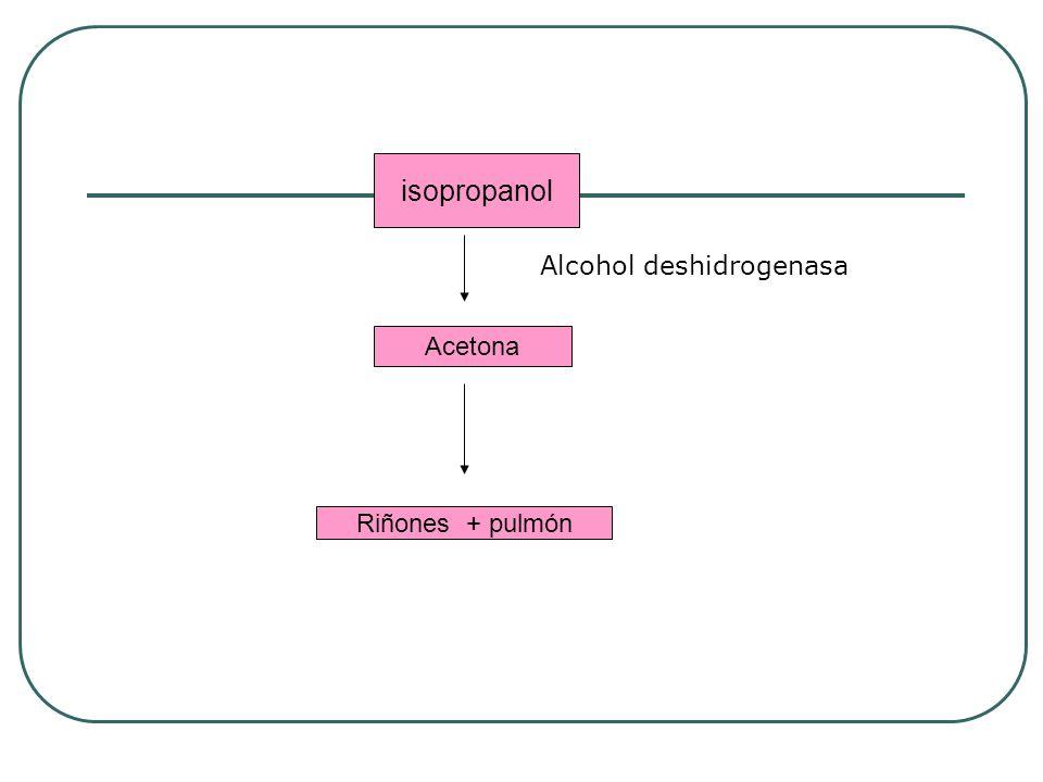isopropanol Acetona Riñones + pulmón Alcohol deshidrogenasa