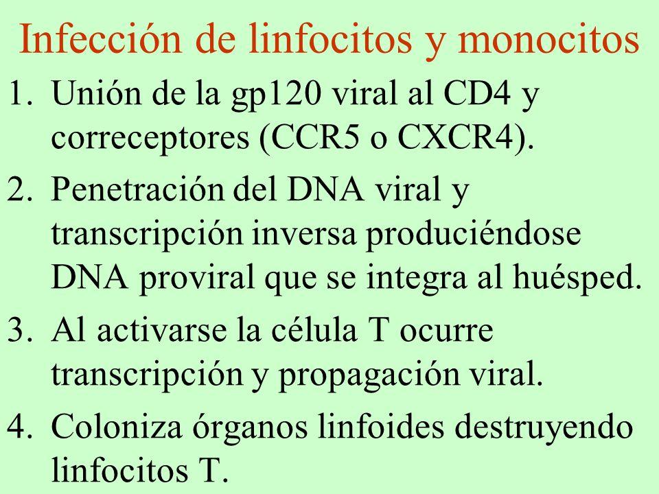 Infección de linfocitos y monocitos 1.Unión de la gp120 viral al CD4 y correceptores (CCR5 o CXCR4). 2.Penetración del DNA viral y transcripción inver
