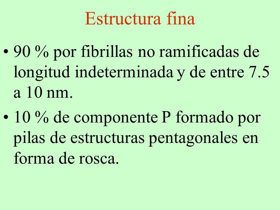 Estructura fina 90 % por fibrillas no ramificadas de longitud indeterminada y de entre 7.5 a 10 nm. 10 % de componente P formado por pilas de estructu
