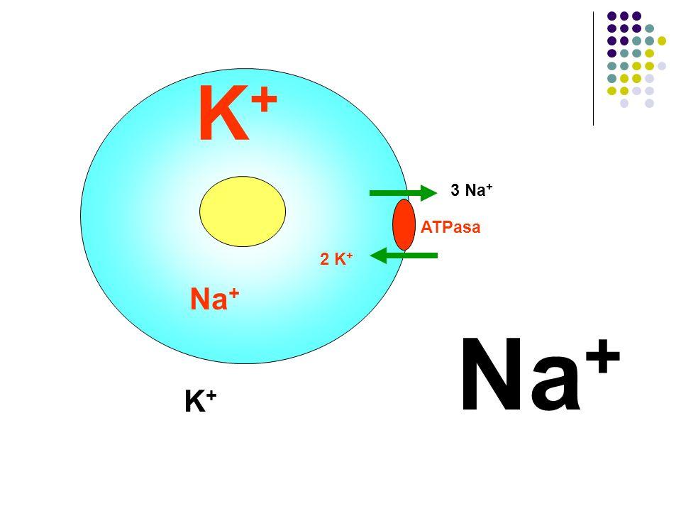 Na + K+K+ K+K+ 3 Na + 2 K + ATPasa