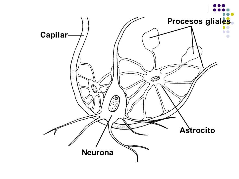 Procesos gliales Astrocito Capilar Neurona