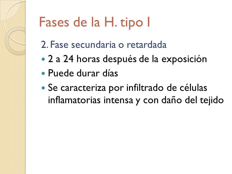 Fases de la H. tipo I 2. Fase secundaria o retardada 2 a 24 horas después de la exposición Puede durar días Se caracteriza por infiltrado de células i
