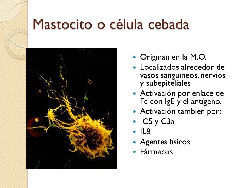 Mastocito o célula cebada Origínan en la M.O. Localizados alrededor de vasos sanguíneos, nervios y subepiteliales Activación por enlace de Fc con IgE