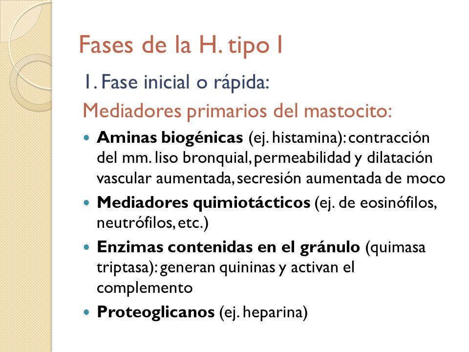 Fases de la H. tipo I 1. Fase inicial o rápida: Mediadores primarios del mastocito: Aminas biogénicas (ej. histamina): contracción del mm. liso bronqu