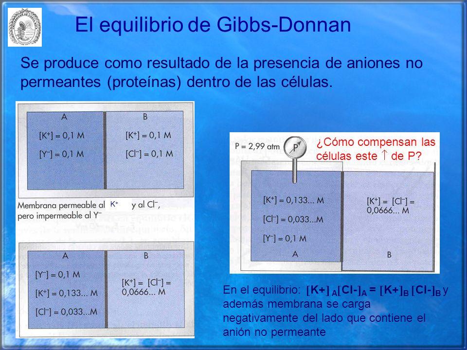 El equilibrio de Gibbs-Donnan Se produce como resultado de la presencia de aniones no permeantes (proteínas) dentro de las células. ¿Cómo compensan la