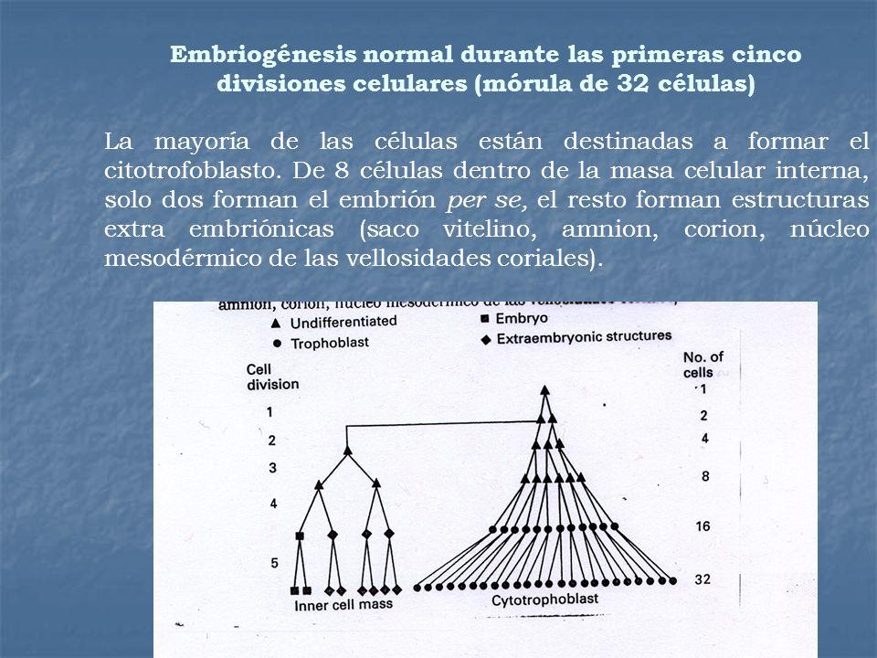 Embriogénesis normal durante las primeras cinco divisiones celulares (mórula de 32 células) La mayoría de las células están destinadas a formar el cit