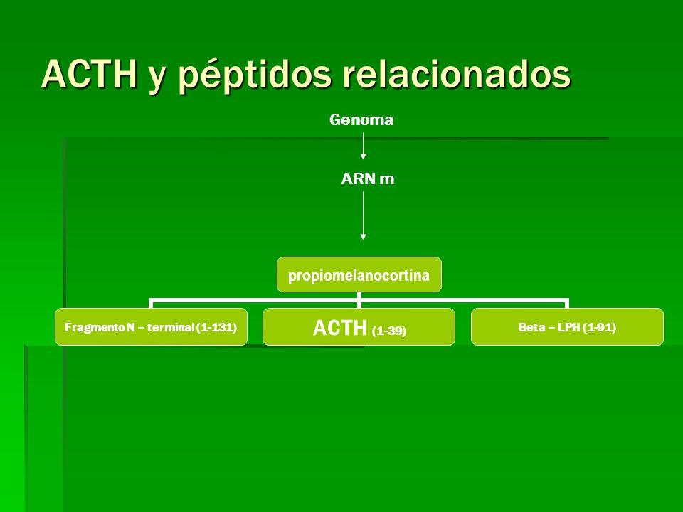 ACTH y péptidos relacionados propiomelanocortina Fragmento N – terminal (1-131) ACTH (1-39)Beta – LPH (1-91) Genoma ARN m