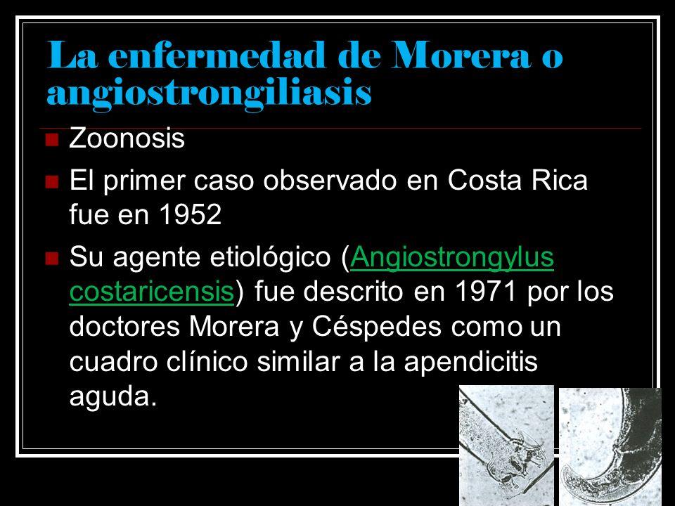 Angiostrongylus costaricensis Nemátodo filiforme de 20 mm el macho y 33 la hembra por 0.24 mm de diámetro En su ciclo de vida se involucra al hombre como huésped accidental y a numerosos roedores como huéspedes definitivos.