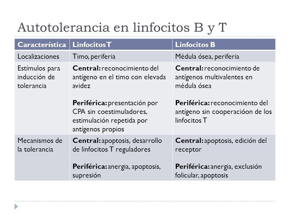 Autotolerancia en linfocitos B y T CaracterísticaLinfocitos TLinfocitos B LocalizacionesTimo, periferiaMédula ósea, periferia Estímulos para inducción