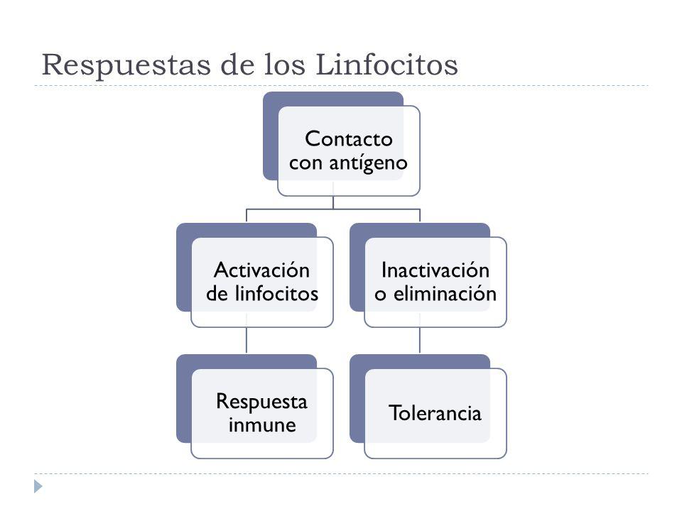 Respuestas de los Linfocitos Contacto con antígeno Activación de linfocitos Respuesta inmune Inactivación o eliminación Tolerancia