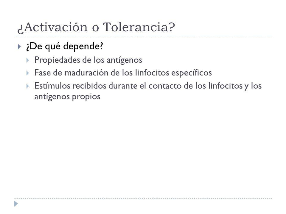 ¿Activación o Tolerancia? ¿De qué depende? Propiedades de los antígenos Fase de maduración de los linfocitos específicos Estímulos recibidos durante e