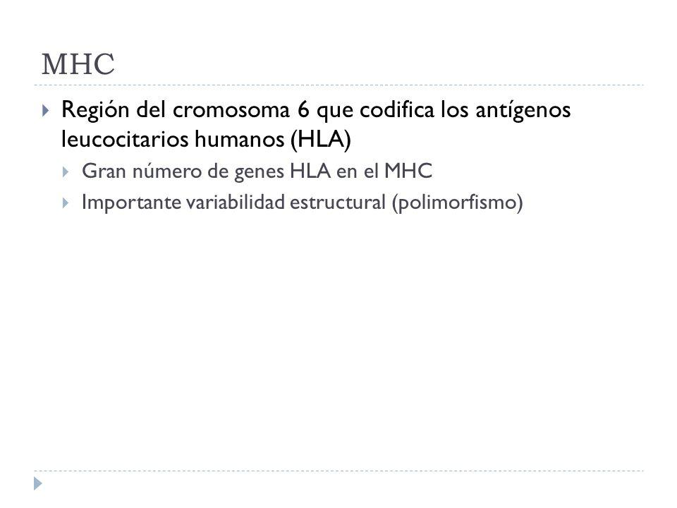 MHC Región del cromosoma 6 que codifica los antígenos leucocitarios humanos (HLA) Gran número de genes HLA en el MHC Importante variabilidad estructur