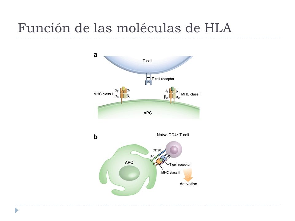 Clases MHC clase I MHC clase II