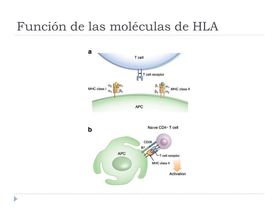 Artritis Reumatoide Epítopo Compartido Alelos HLA asociados con AR HLA-DR1 HLA-DR4 HLA-DR10 Estos alelos comparten una secuencia de aminoácidos en la cadena DR β Tercera región hipervariable, posiciones 70-74 (QKRAA) Influye en unión del péptido y en interacciones con el TCR