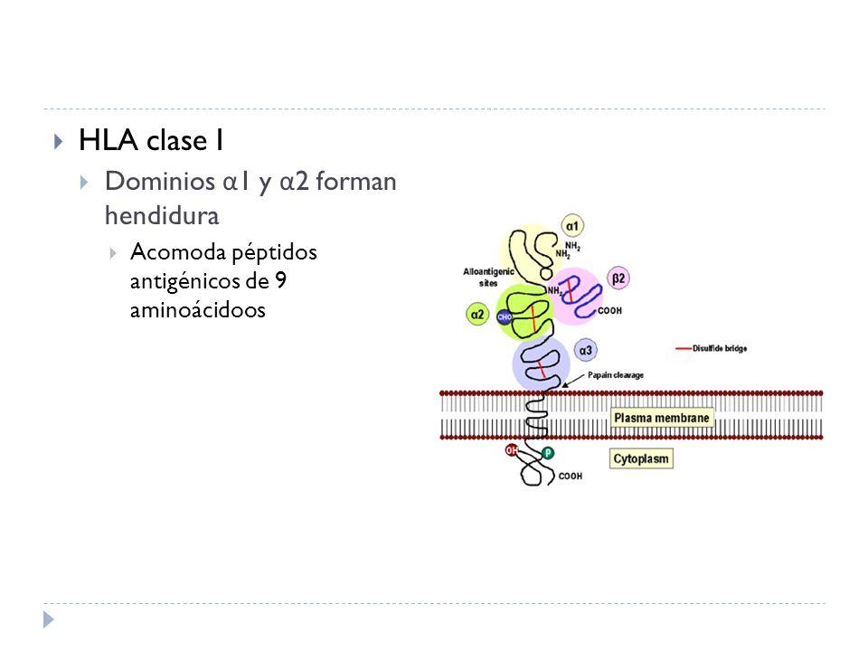 HLA clase I Dominios α 1 y α 2 forman hendidura Acomoda péptidos antigénicos de 9 aminoácidoos
